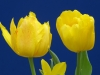 tulip1img_2383web