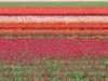 Tulips near Lisse
