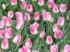 tulips3img_2361web